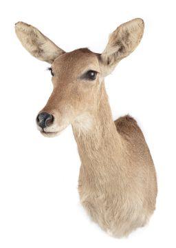Sale 9150J - Lot 38 - A Taxidermy Female Fallow Deer (L 68cm)