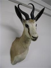 Sale 8331A - Lot 516B - Springbok Shoulder Mount, new taxidermy