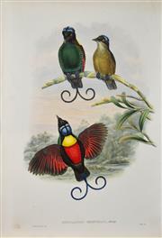 Sale 8420 - Lot 583 - John Gould (1804 - 1881) - DIPHYLLODES RESPUBLICA: Bare-headed Bird of Paradise 54.5 x 37cm (sheet size)