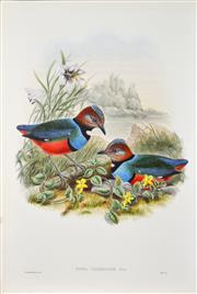 Sale 8492A - Lot 5053 - John Gould (1804 - 1881) - PITTA CELEBENSIS: Celebean Pitta 54.5 x 37cm (sheet size)
