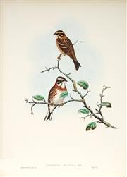 Sale 9037A - Lot 5052 - John Gould (1804 - 1881) - EMBERIZA RUSTICA PALLAS: Rustic Bunting hand-coloured lithograph, with letterpress text sheet (unframed)