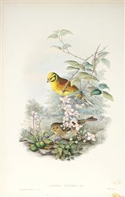 Sale 9037A - Lot 5053 - John Gould (1804 - 1881) - EMBERIZA CITRINELLA: Yellow Bunting hand-coloured lithograph, with letterpress text sheet (unframed)
