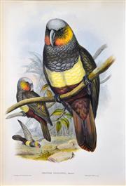 Sale 8415 - Lot 579 - John Gould (1804 - 1881) - NESTOR ESSLIGHII: Prince of Esslings Parrot 54.5 x 37cm (sheet size)