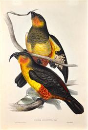 Sale 8344 - Lot 579 - John Gould (1804 - 1881) - NESTOR PRODUCTUS - Phillip Island Parrot 54.5 x 37cm (sheet size)