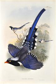 Sale 8344 - Lot 580 - John Gould (1804 - 1881) - UROCISSA SINENSIS - Chinese Blue Pie 54.5 x 37cm (sheet size)