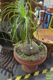 Sale 8284 - Lot 1043 - Ponytail Fern in Planter