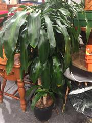 Sale 8822 - Lot 1776 - Collection of Three Indoor Plants