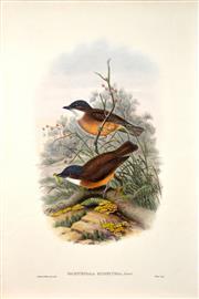 Sale 8427 - Lot 568 - John Gould (1804 - 1881) - PACHYCEPHALA HYPERYTHRA: Ruddy-breasted Thickhead 54.5 x 37cm (sheet size)