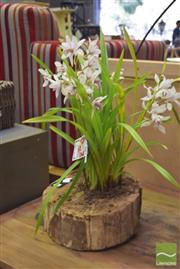 Sale 8390 - Lot 1230 - Four Spike Orchid in Hollow Log