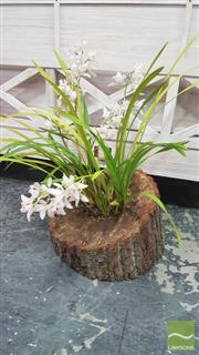 Sale 8390 - Lot 1576 - Five Spike Orchid in Hollow Log