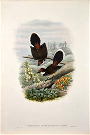 Sale 8434 - Lot 572 - John Gould (1804 - 1881) - RHIPIDURA RUBROFRONTATA: Rufous-fronted Fantaile Flyeater 54.5 x 37cm (sheet size)
