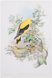 Sale 8449A - Lot 568 - John Gould (1804 - 1881) - ORIOLUS GALBULA 52.5 x 35cm