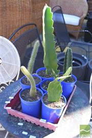 Sale 8390 - Lot 1364 - Tray of Varied Cacti