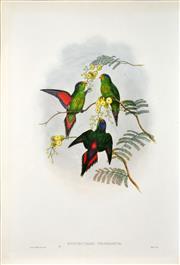 Sale 8415 - Lot 580 - John Gould (1804 - 1881) - PSITTEUTELES WILHELMINAE: Wilhelmina Lorikeet 54.5 x 37cm (sheet size)