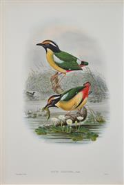 Sale 8492A - Lot 5057 - John Gould (1804 - 1881) - PITTA CONCINNA: Elegant Pitta sheet size: 54.5 x 37cm