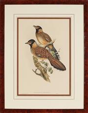 Sale 8945 - Lot 2006 - John Gould (1804 - 1881) - ALLIED LANTHOCINCLA 50 x 37 cm (frame: 75 x 58.5 x 2 cm)