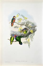 Sale 8427 - Lot 569 - John Gould (1804 - 1881) - NASITERNA BRUIJNII: Bruijns Pygmy Parrot 54.5 x 37cm (sheet size)