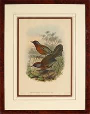 Sale 8945 - Lot 2005 - John Gould (1804 - 1881) - TROCHALOPTERON MELANOSTIGMA 50 x 37 cm (frame: 75 x 58.5 x 2 cm)