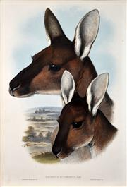 Sale 8415 - Lot 582 - John Gould (1804 - 1881) - MACROPUS OCYDROMUS: West-Australian Great Kangaroo 54.5 x 37cm (sheet size)