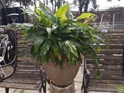 Sale 8601 - Lot 1213 - Ceramic Planter with Plant