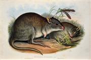 Sale 8427 - Lot 570 - John Gould (1804 - 1881) - BETTONGIA RUFESCENS: Rufous Jerboa Kangaroo 54.5 x 37cm (sheet size)