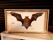 Sale 8582 - Lot 2381 - Framed Hairless Bat