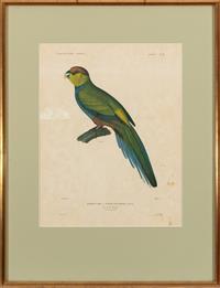 Sale 8934H - Lot 28 - J Tastu, New Holland, Perruche A Tete Pourpe, total frame size 67cm  x 51cm
