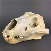 Sale 8638 - Lot 614 - Antique Lion Skull