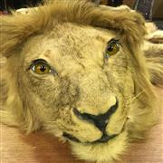 Sale 8638 - Lot 615 - Antique Lion Skin with Taxidermy Head - with original purchase documents 1974