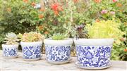 Sale 8422A - Lot 75 - Four ceramic graduated planters with saucers in blue and white (broad leaf design) containing a variety of succulents, largest heigh...