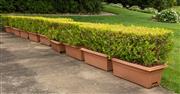 Sale 8677A - Lot 13 - Ten buxus plants in plastic tubs each width, 70cm