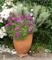 Sale 8677A - Lot 10 - Terracotta pot with flowering shrub. Height of pot 44cm