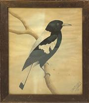 Sale 8958 - Lot 2052 - D H Elliot Magpie 1911 watercolour, 34.5 x 30cm (frame), signed and dated