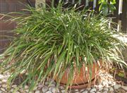 Sale 8575H - Lot 99 - A circular terracotta planter, potted lemon grass