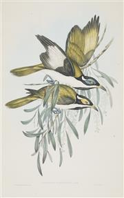 Sale 8732 - Lot 587 - John Gould and H.C Richter - ENTOMYZA ALBIPENNIS: White-pinioned Honey-eater 51 x 35.5cm
