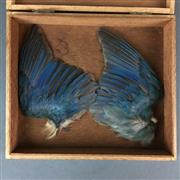 Sale 8638 - Lot 636 - Pair of PNG Bird of Paradise Wings, boxed