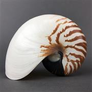 Sale 8638 - Lot 664 - Nautilus Shell