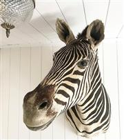 Sale 8638 - Lot 613A - Taxidermy Zebra, shoulder mount
