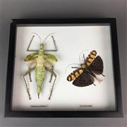 Sale 8638 - Lot 630 - Heteropteryx & Sanna, framed