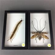 Sale 8638 - Lot 631 - Insects, framed (2)