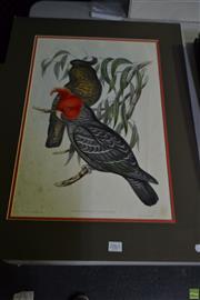 Sale 8578T - Lot 2061 - John Gould - Callocepholon Galeatum 50 x 34cm