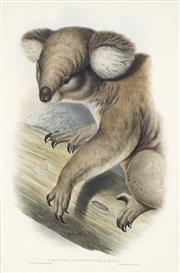 Sale 8722 - Lot 564 - John Gould (1804 - 1881) - PHASCOLARCTOS CINEREUS: Koala 52 x 34cm