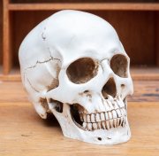 Sale 8795A - Lot 96 - A scale model replica scull with removable jaw, approx height 15cm