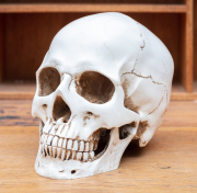 Sale 8795A - Lot 93 - A scale model replica scull with removable jaw, approx height 15cm