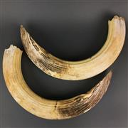Sale 8638 - Lot 605 - Pair of Hippopotamus Tusks