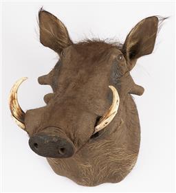 Sale 9199J - Lot 12 - A taxidermy warthog shoulder mount, Height 53cm