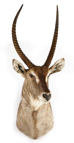 Sale 9199J - Lot 11 - A taxidermy waterbuck shoulder mount, Height 130cm