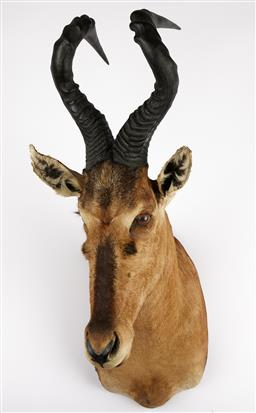 Sale 9199J - Lot 13 - A taxidermy red hartebeest shoulder mount, Height 93cm