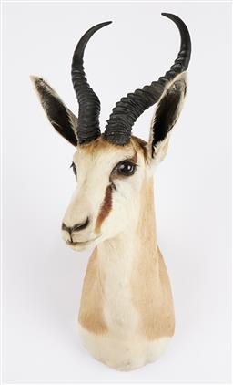 Sale 9199J - Lot 14 - A taxidermy springbok shoulder mount, Height 63cm