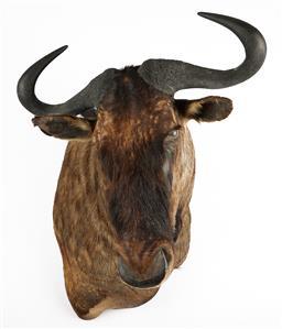 Sale 9199J - Lot 18 - A taxidermy blue wildebeest shoulder mount, Height 90cm